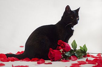 Domestic Shorthair Cat for adoption in Jefferson, North Carolina - Onyx