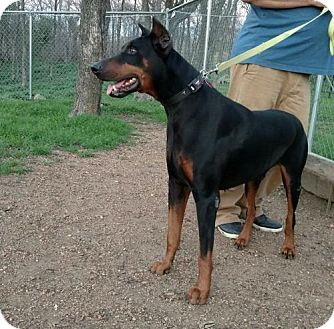 Doberman Pinscher Dog for adoption in Buffalo, Minnesota - Henry