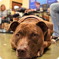 Pit Bull Terrier Mix Dog for adoption in Fayette, Missouri - Hershey