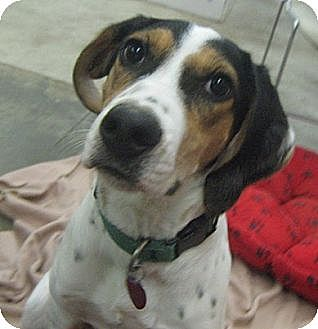 Beagle/Hound (Unknown Type) Mix Dog for adoption in Lake Odessa, Michigan - Squeaky