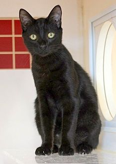 Domestic Shorthair Kitten for adoption in Concord, North Carolina - Hansom