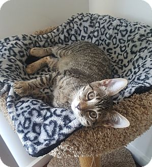 Domestic Shorthair Kitten for adoption in Los Angeles, California - Xena