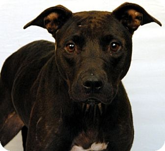 Pit Bull Terrier Mix Dog for adoption in Newland, North Carolina - Geo