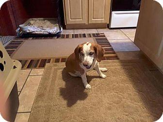 Beagle Dog for adoption in New York, New York - Duke