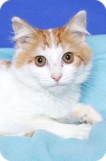 Domestic Shorthair Kitten for adoption in Gloucester, Virginia - BROOKE