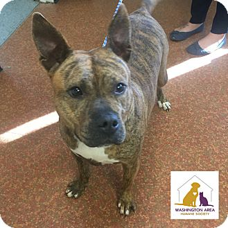 Pit Bull Terrier Mix Dog for adoption in Eighty Four, Pennsylvania - MiMi