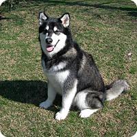 Adopt A Pet :: Sam - Mt Prospect, IL