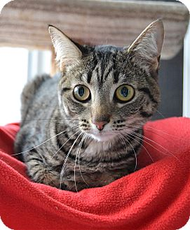 Domestic Shorthair Cat for adoption in Michigan City, Indiana - Beatrice