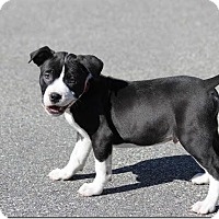Adopt A Pet :: Boston - Berwick, ME