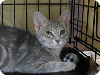 Domestic Shorthair Kitten for adoption in Frederick, Maryland - Lady Gaga