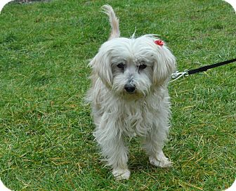 Terrier (Unknown Type, Small) Mix Dog for adoption in Tumwater, Washington - Bear