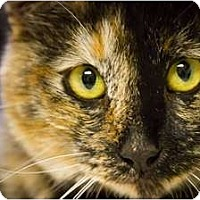 Calico Cat for adoption in Bulverde, Texas - Sabrina