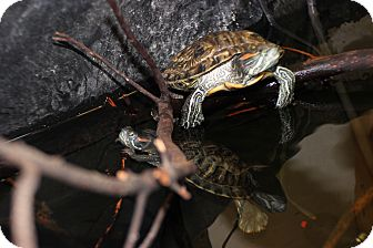 Turtle - Water for adoption in San Clemente, California - Slider