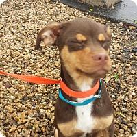 Adopt A Pet :: Bean - Scottsdale, AZ