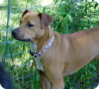 Boxer/Whippet Mix Dog for adoption in Conesus, New York - Molly