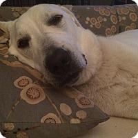 Akbash Mix Dog for adoption in Wichita Falls, Texas - Stella