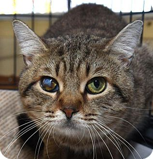 American Shorthair Cat for adoption in New Haven, Connecticut - CLOUD