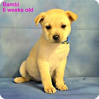 Adopt A Pet :: Bambi - Yreka, CA