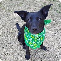 Adopt A Pet :: Cinder - Hainesville, IL