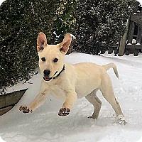 Labrador Retriever Mix Puppy for adoption in Colmar, Pennsylvania - Paxton