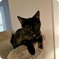 Domestic Shorthair Kitten for adoption in Richmond, Virginia - Pippa