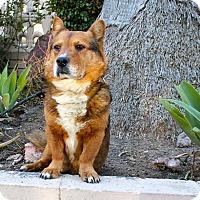 Adopt A Pet :: Harvey - Los Angeles, CA