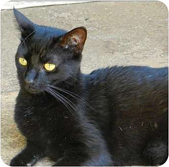 Domestic Shorthair Cat for adoption in Makawao, Hawaii - Bright Eyes