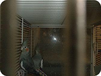 Cockatiel for adoption in Neenah, Wisconsin - Cinna