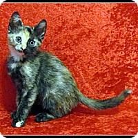 Adopt A Pet :: Rizzoli - Orlando, FL