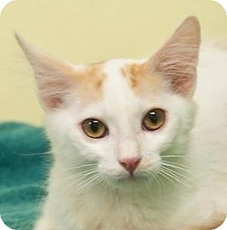 Domestic Mediumhair Kitten for adoption in Morgan Hill, California - McKinney