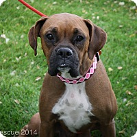 Adopt A Pet :: Lady Madonna - Broomfield, CO