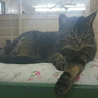 Domestic Shorthair Cat for adoption in Sunderland, Ontario - Rebecca
