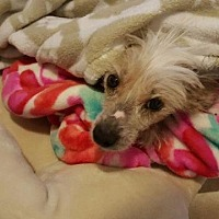 Chinese Crested Dog for adoption in Freeport, New York - Spike