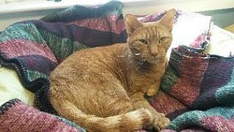Domestic Shorthair Cat for adoption in Queenstown, Maryland - Gerbil
