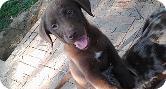 Labrador Retriever Mix Puppy for adoption in Somers, Connecticut - Cowgirl