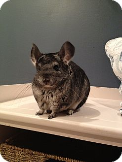 Chinchilla for adoption in Granby, Connecticut - Tica