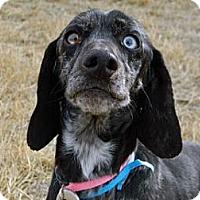 Adopt A Pet :: Knickei - Cheyenne, WY
