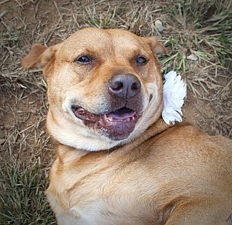 American Staffordshire Terrier/Labrador Retriever Mix Dog for adoption in Tanner, Alabama - Ruby