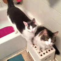 Domestic Shorthair Cat for adoption in Brooklyn, New York - Brother and Sister Frisky and PawPaw