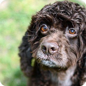 Cocker Spaniel Dog for adoption in Newington, Virginia - CoCo