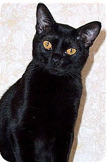 Domestic Shorthair Cat for adoption in Milwaukee, Wisconsin - Kensington