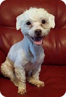 Schnauzer (Miniature)/Poodle (Miniature) Mix Dog for adoption in Lawrenceville, Georgia - Picasso