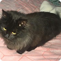 Domestic Longhair Cat for adoption in Greensboro, North Carolina - Winnie