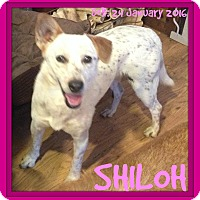 Australian Cattle Dog Mix Dog for adoption in Middletown, Connecticut - SHILOH