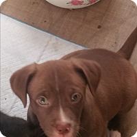 Adopt A Pet :: Lilac - Pikeville, MD