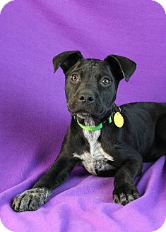 Boxer/Australian Cattle Dog Mix Puppy for adoption in Westminster, Colorado - Nancy