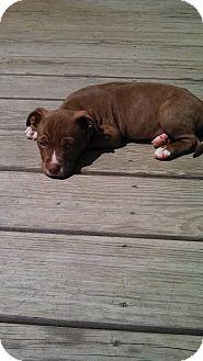 Pit Bull Terrier/Labrador Retriever Mix Puppy for adoption in Sinking Spring, Pennsylvania - Si