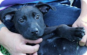 Labrador Retriever Mix Puppy for adoption in South Jersey, New Jersey - Vivian