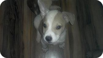 Shepherd (Unknown Type)/Corgi Mix Puppy for adoption in Nashua, New Hampshire - Crowley