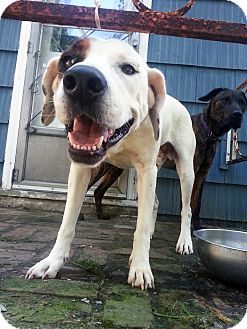 Boxer Mix Dog for adoption in Manhasset, New York - Adoption Pending -- Patch